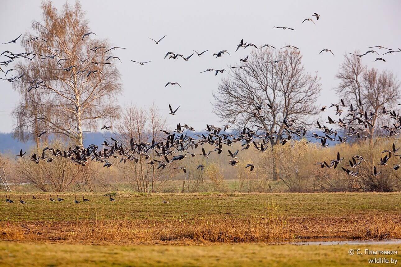Чудо миграций: как, куда и зачем летят белорусские птицы?