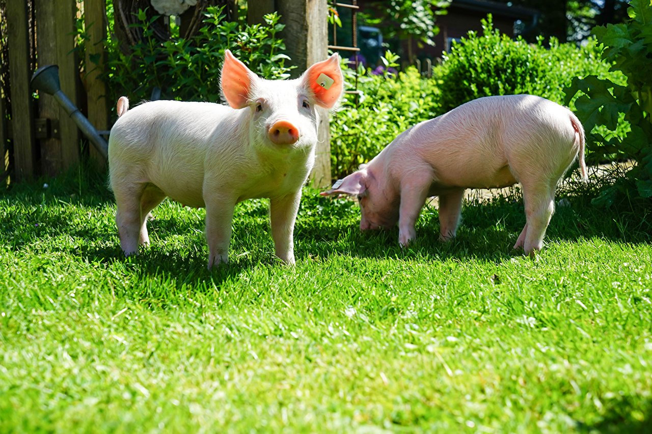 Domestic_pig_Two_Grass_493300.jpg